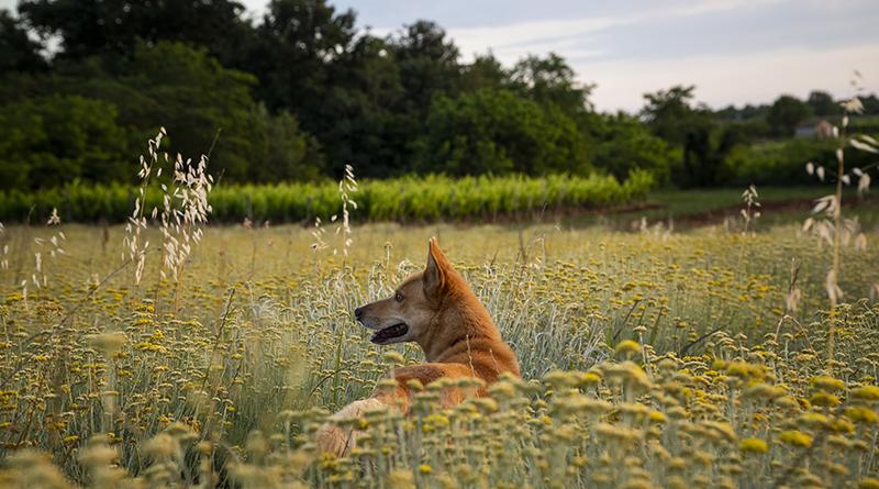 Automédication naturelle chez le chien - Le blog du hérisson