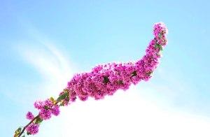 Branche de bougainvillier