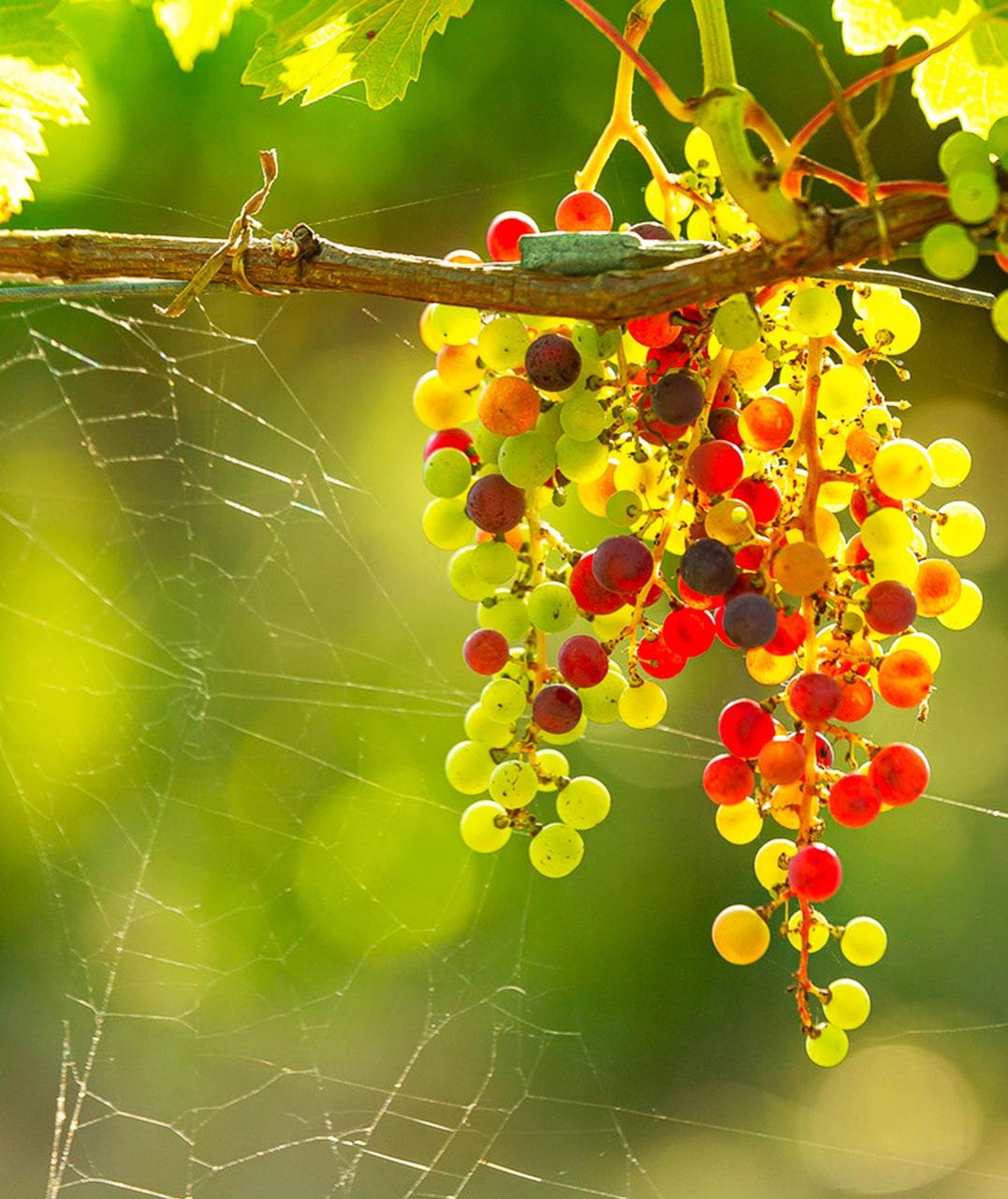 Grappe de raisin du Domaine du Boiron
