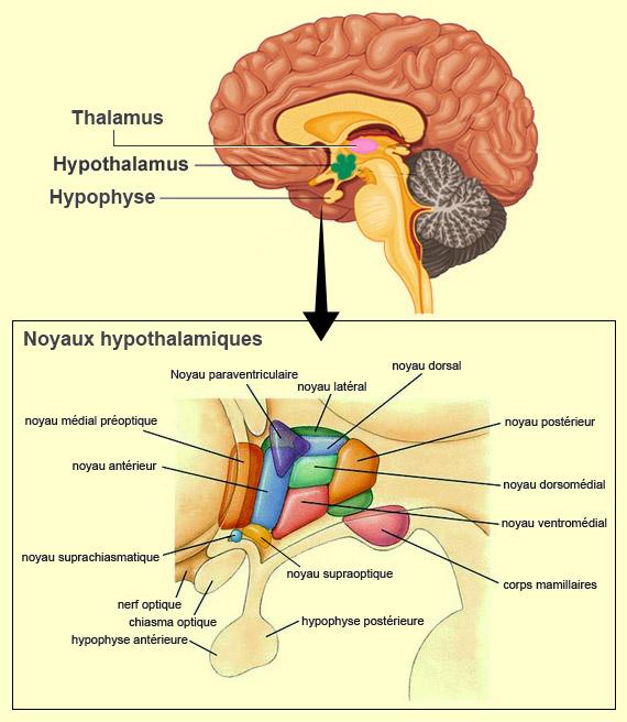 L'hypothalamus et ses noyaux