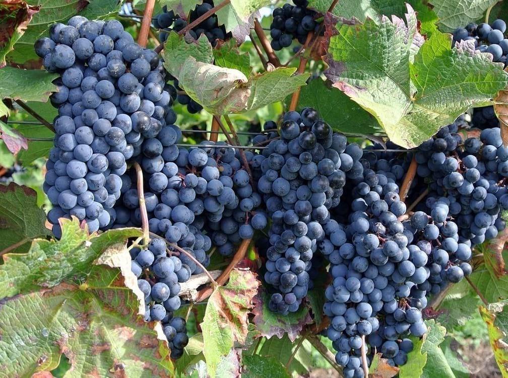 racimo de uvas | vitis vinífera, varietal | vinos | le chat magazine