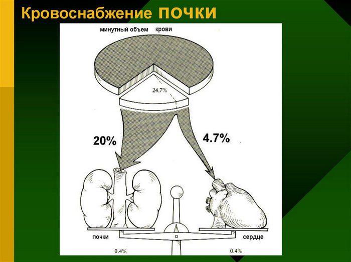 Особенности кровоснабжения почки