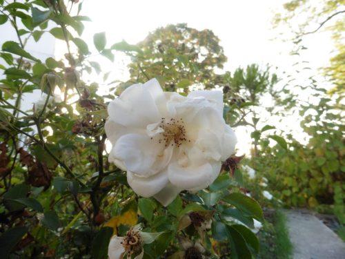 un présent : fleur de mon quartier