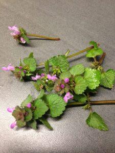 Taubnessel mit rosafarbenen Blüten