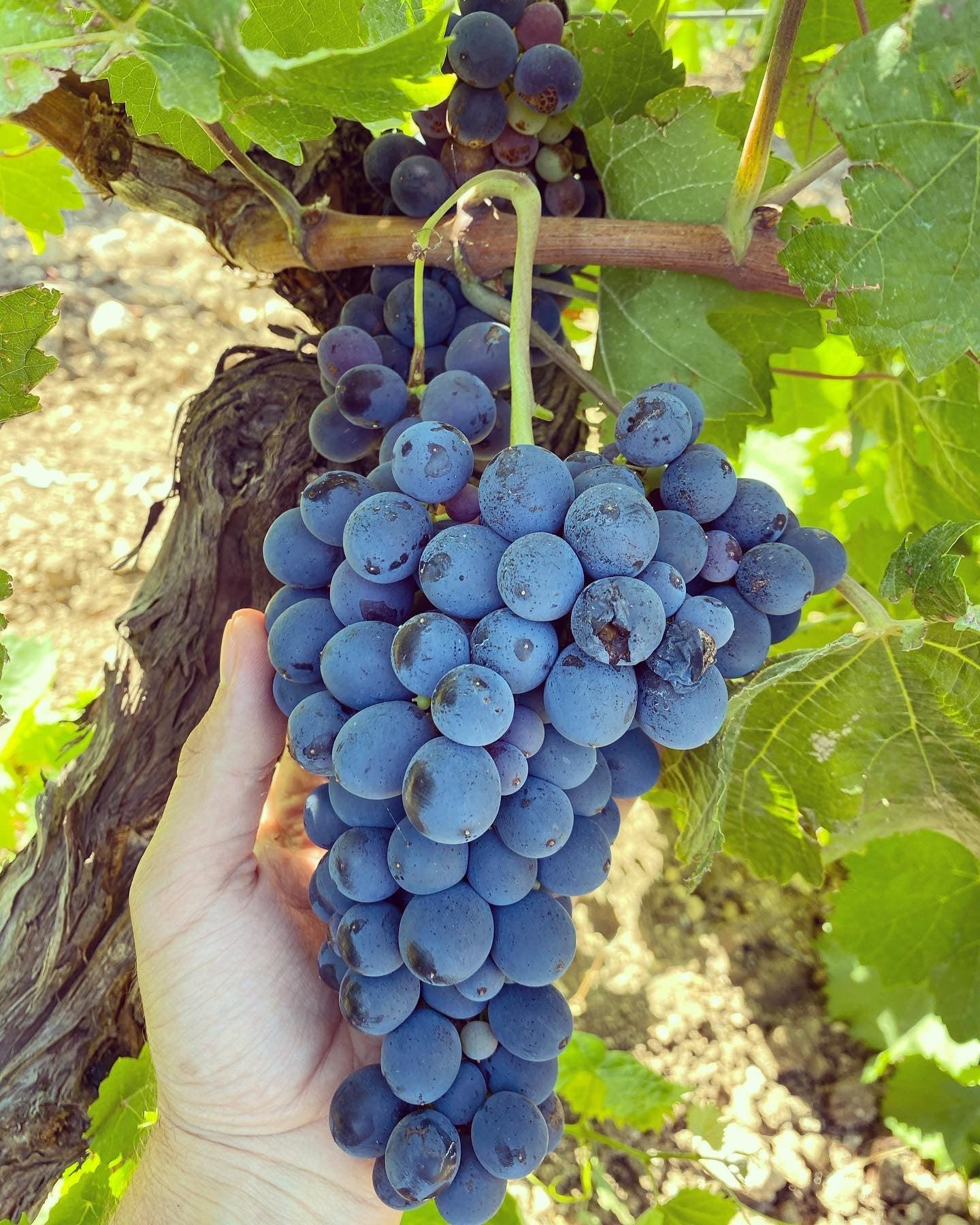 Flavia Wines