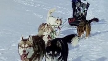 Recherche poste musher/handler saison 2020-2021