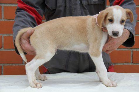 a vendre chiots eurohound