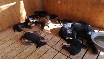 Vends chiots femelles eurohound lignée MI-distance Egil-Ellis/Tom Andres(majoritairement).