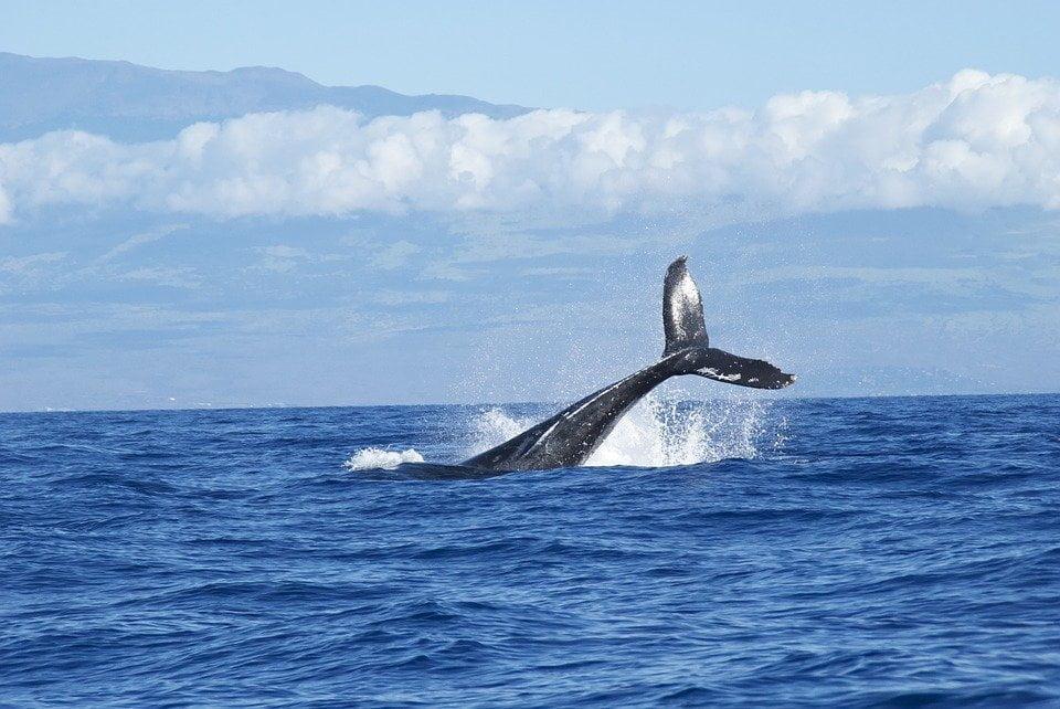 Russia, liberate le balene in cattivita'