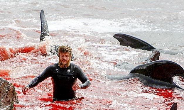 Nuova mattanza alle isole Fær Øer: uccisi quasi 300 cetacei in un giorno