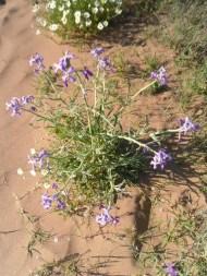 fleurs des sables