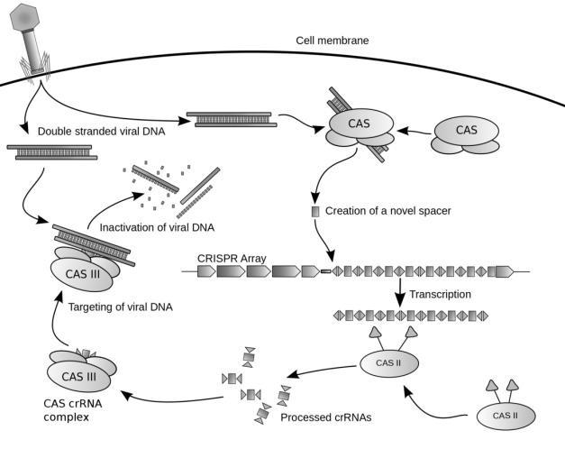Crispr Bacterial Defence