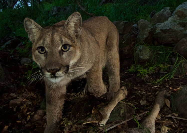 Federal judge's ruling ends Colorado's plan to kill hundreds of mountain lions in Upper Arkansas River Basin