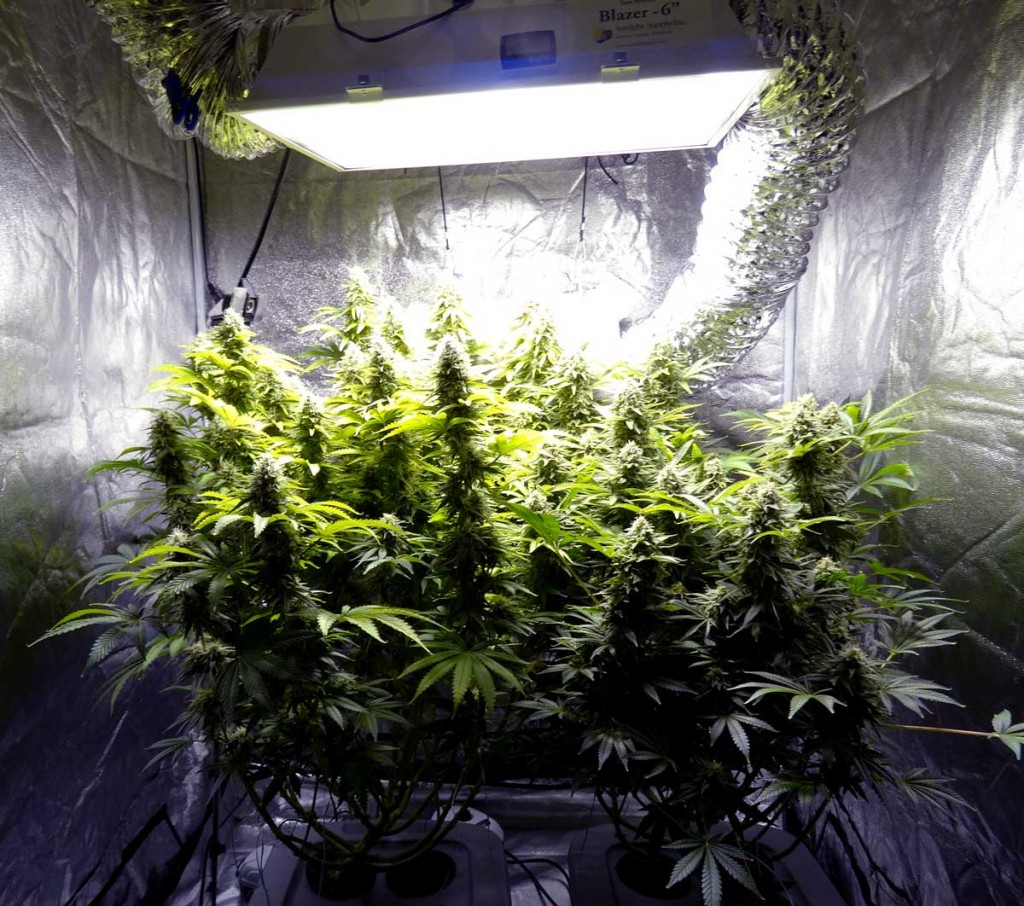 How to Select the Best Grow Light for Indoor Growing  LED