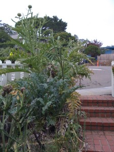 tall-artichokes-2