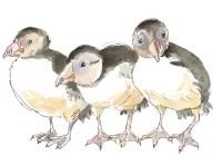 pufflings