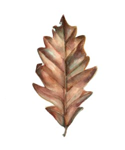 Daily Leaf 002: Swamp White Oak painted in Da Vinci and other watercolour paints