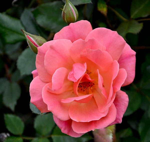 Carefree-Texas-Rose-4-1-12-5