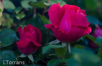 Knockout_Shrub_Rose_Texas_Dallas_April