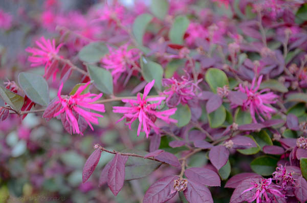 Arbustos para las abejas - Dyck Arboretum
