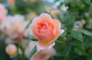Lee-Ann-Torrans-Noisette-Shrub-Rose-Crepuscule