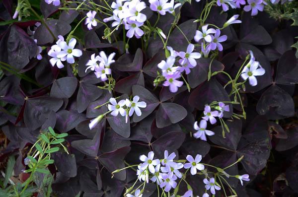 Lee-Ann-Torrans-Purple-Shamrock