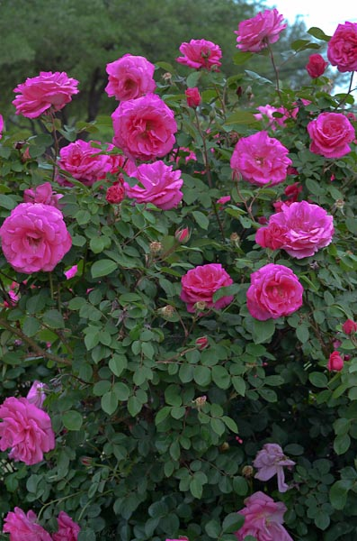 Prairie Breeze and large shrub rose that is a prolific bloomer and does well in Texas. Reaches four to five feet in height and width.