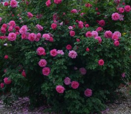 Lee-Ann-Torrans-Roses-Prairie-Breeze-5