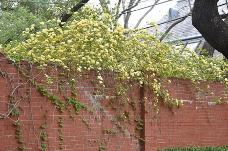 Lady Banks Lutea blooms once in early spring. This climber can be invasive if not pruned.