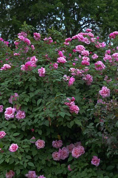 Lee-Ann-Torrans-Texas-Roses-McClinton-Tea