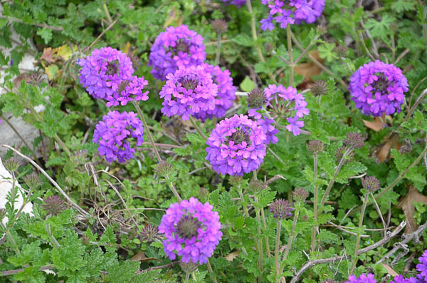 Purple Texas Verbenna