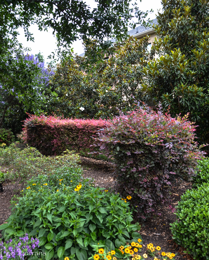 Loropetalum - Purple Shrub for Texas