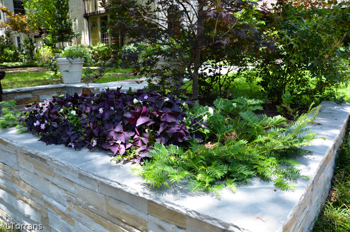 Purple Shamrock Texas Perennial with Spreading Yew