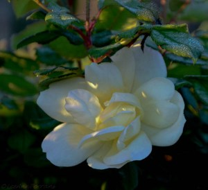 Sunny-Knockout-Rose-1