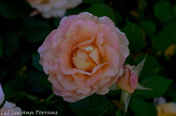 Day-Breaker-Texas-Rose