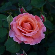 Easy-Does-It-Shrub-Rose-22