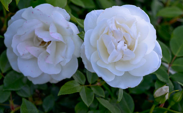 Iceberg Rose. Clear white rose that is a prolific bloomer set against deep, glossy glean leaves.