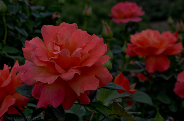 Easy Does It a tangerine color with thick petals and leaves