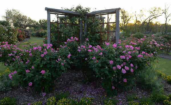 Lee-Ann-Torrans-Texas-Roses-Carrollton-Rose-Garden
