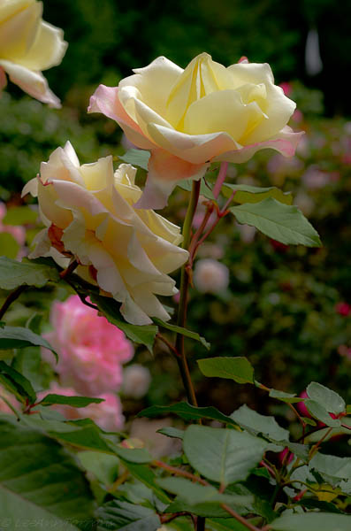 Lee-Ann-Torrans-Texas-Roses-Late-March-Texas-7