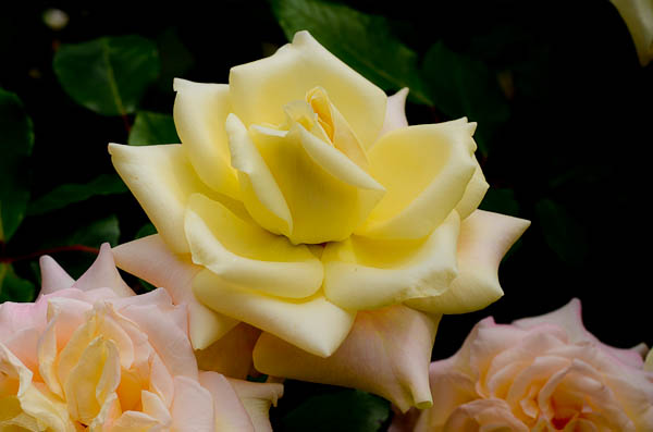 Mrs. Dudley Cross opens a tender yellow, turns a pale peach before becoming pink