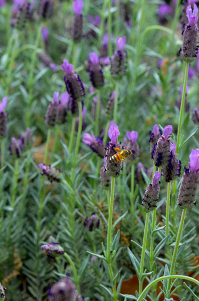 Spanish Lavender Texas Perennial great for bees.
