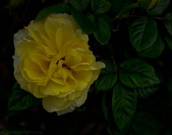 Lee-Ann-Torrans-Texas-Roses-Centennial-500