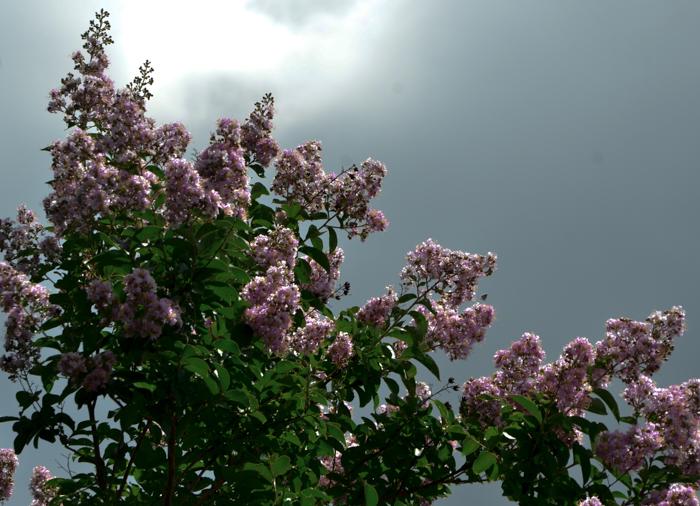 Muskogee_Crape_Myrtle_Tree_Plano_Landscaping_Lee_Ann_Torrans-4