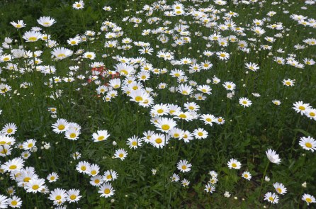 Ox Eye Daisy Perennials thrive in Texas.