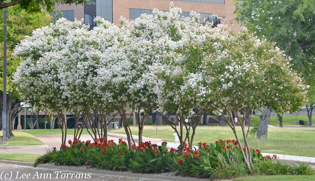 Townhousse_White_Crape_Myrtle_Lee_Ann_Torrans