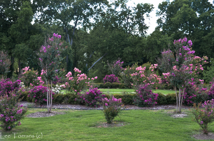 Catawba_Purple_Crape_Myrtle_Large_Lee_Ann_Torrans-4