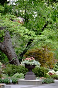 Japanese Maple and Dallas Container Gardening