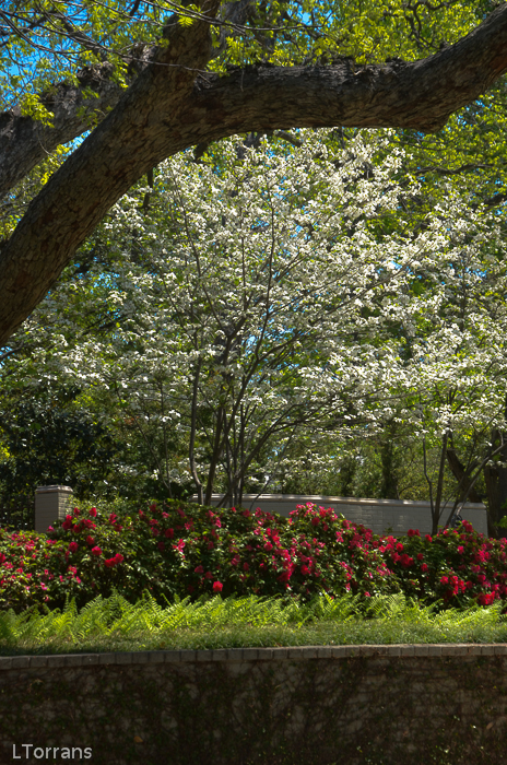 Dogwood Trees in Dallas Do Well!