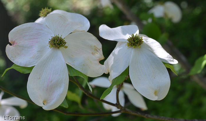 Texas White Dogwood Trees mid-April